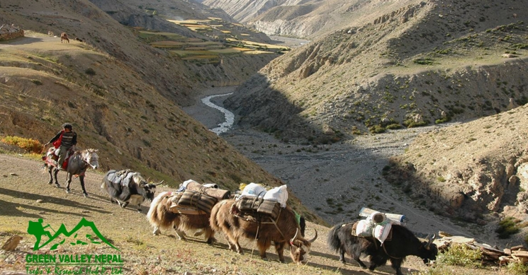 Yak Caravan Leaving Saldang in Upper Dolpo Trek